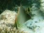 Triangel-Falterfisch (Chaetodon triangulum)