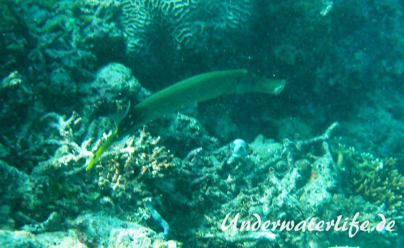 Trompetenfisch_adult-Malediven-2013-006