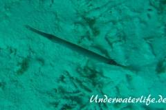 Trompetenfisch_adult-Malediven-2013-002