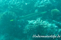 Trompetenfisch_adult-Malediven-2013-004