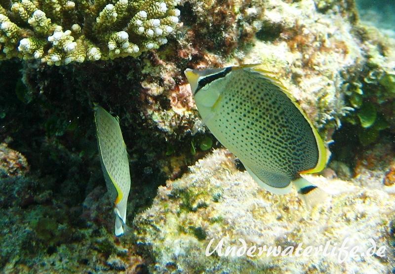 Tuepfel-Falterfisch_adult-Malediven-2013-01