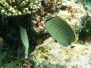 Tüpfel-Falterfisch (Chaetodon guttatissimus)