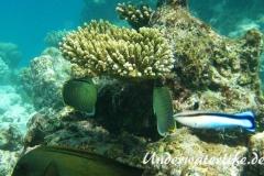 Tuepfel-Falterfisch_adult-Malediven-2013-02