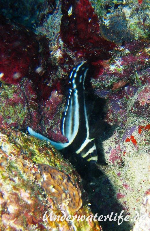 Tuepfel Ritterfisch_adult-Karibik-2014-002