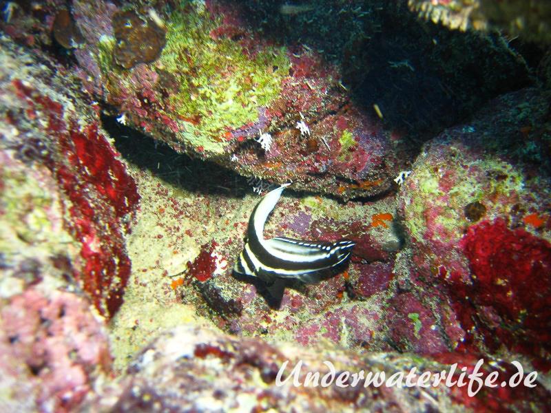 Tuepfel Ritterfisch_adult-Karibik-2014-005