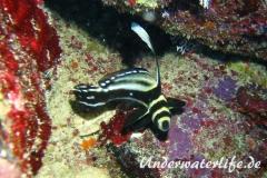 Tuepfel Ritterfisch_adult-Karibik-2014-003