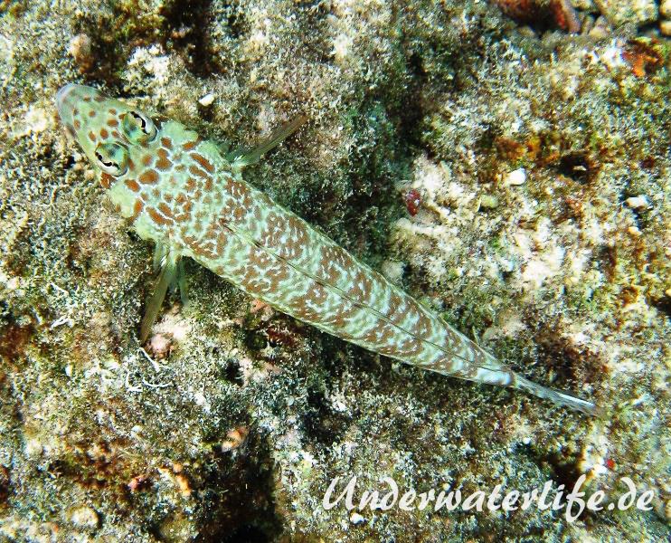 Vielpunkt-Sandbarsch_adult-Malediven-2013-02