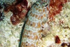 Vielpunkt-Sandbarsch_adult-Malediven-2013-03