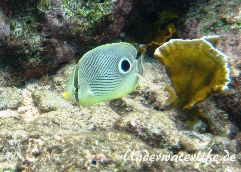 Vieraugen Schmeterlingsfisch_adult-Karibik-2014-001