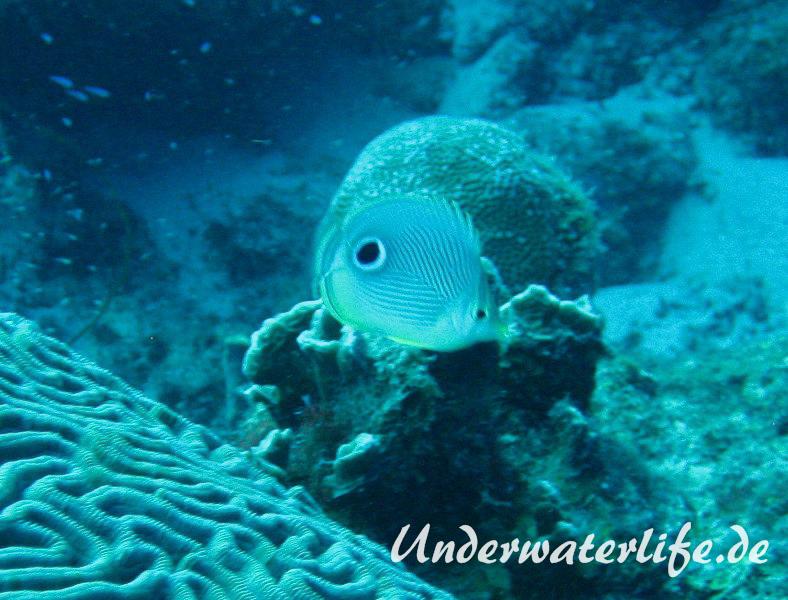 Vieraugen Schmeterlingsfisch_adult-Karibik-2014-003