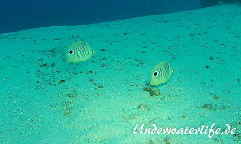 Vieraugen Schmeterlingsfisch_adult-Karibik-2014-004
