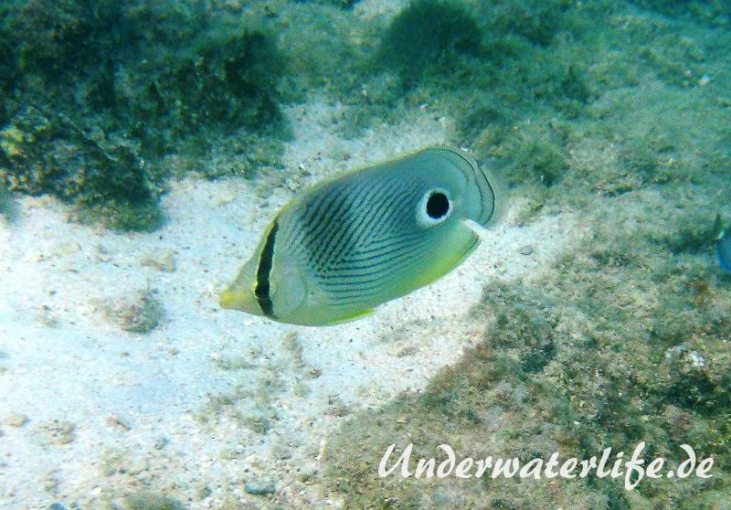 Vieraugen Schmeterlingsfisch_adult-Karibik-2014-005
