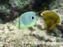 Vieraugen-Schmetterlingsfisch (Chaetodon capistratus)