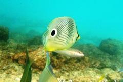 Vieraugen Schmeterlingsfisch_adult-Karibik-2014-002