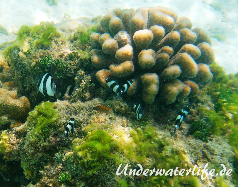 Vier-Binden-Preussenfische_adult-Malediven-2013-005