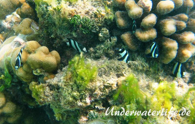 Vier-Binden-Preussenfische_adult-Malediven-2013-006