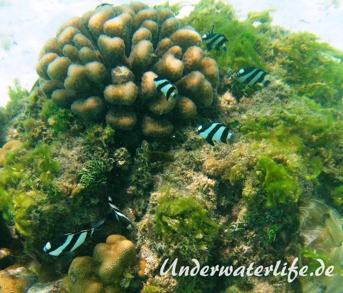 Vier-Binden-Preussenfische_adult-Malediven-2013-009