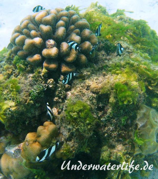 Vier-Binden-Preussenfische_adult-Malediven-2013-010