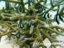 Vierbinden-Preußenfisch (Dascyllus aruanus)