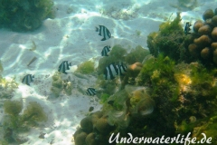 Vier-Binden-Preussenfische_adult-Malediven-2013-003