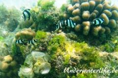 Vier-Binden-Preussenfische_adult-Malediven-2013-004