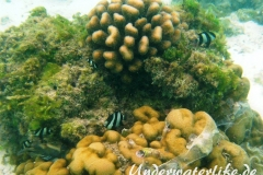 Vier-Binden-Preussenfische_adult-Malediven-2013-011