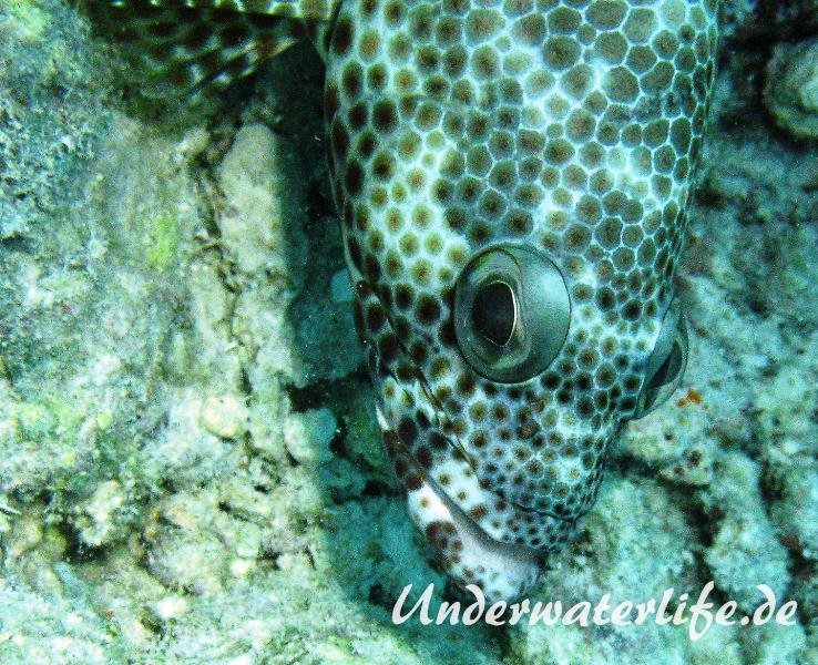 Vierfleck-Wabenbarsch_adult-Malediven-2013-02