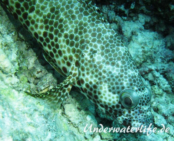 Vierfleck-Wabenbarsch_adult-Malediven-2013-03
