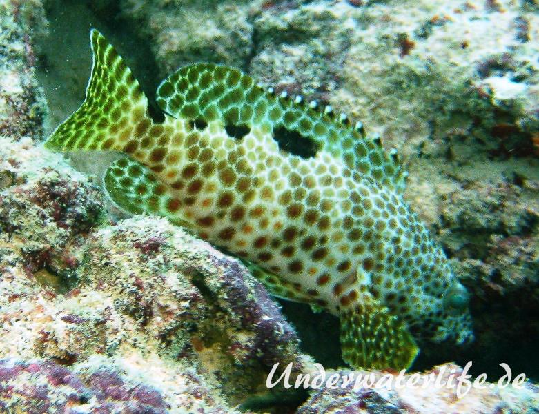 Vierfleck-Wabenbarsch_adult-Malediven-2013-04