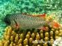 Violetter Soldatenfisch (Myripristis violacea)