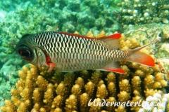Violetter Soldatenfisch_adult-Malediven-2013-01