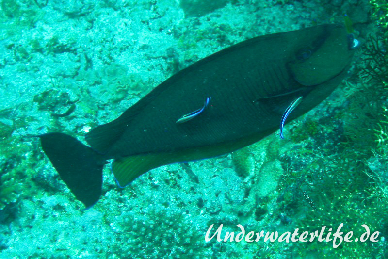 Vlamings-Nasendoktorfisch_adult-Malediven-2013-01