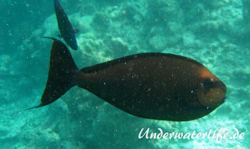 Vlamings-Nasendoktorfisch_adult-Malediven-2013-02