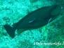 Vlamings- Nasendoktorfisch (Naso vlamingii)