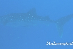 Walhai_adult-Malediven-2013-02