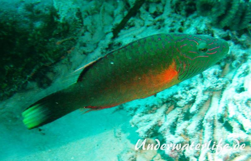 Wangenstreifen-Lippfisch_adult-Malediven-2013-01