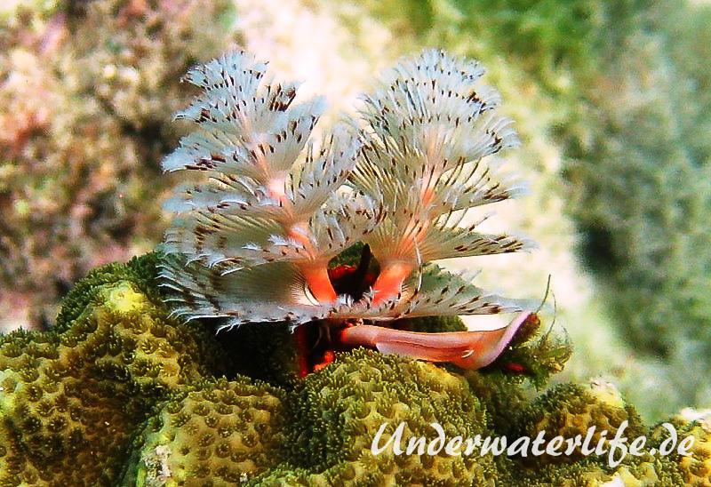 Weihnachtsbaumwurm_adult-Karibik-2014-001