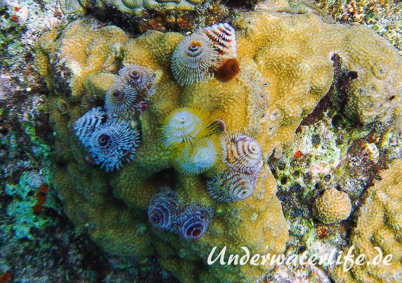 Weihnachtsbaumwurm_adult-Karibik-2014-007