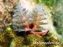 Weihnachtsbaumwurm (Spirobranchus giganteus) Karibik