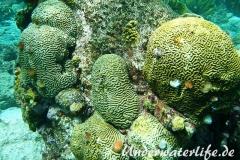 Weihnachtsbaumwurm_adult-Karibik-2014-002