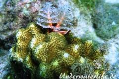 Weihnachtsbaumwurm_adult-Karibik-2014-005
