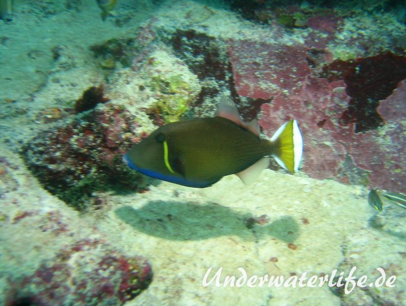 Halbmond-Drueckerfisch_adult-Maennchen-Malediven-2013-1