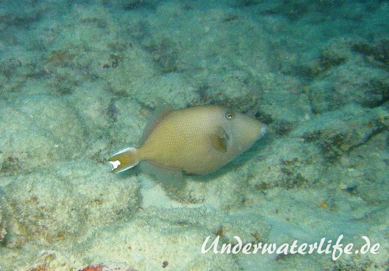 Halbmond-Drueckerfisch_adult-Weibchen-Malediven-2013-1