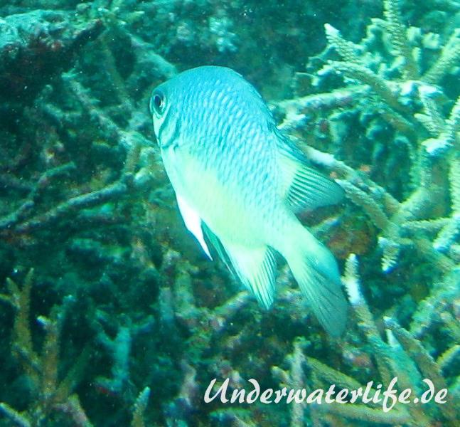 Weissbauch-Demoiselle_adult-Malediven-2013-01