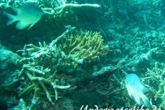 Weissbauch-Demoiselle_adult-Malediven-2013-02