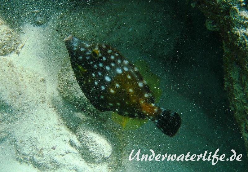 Weissflecken Feilenfisch_adult-Karibik-2014-01