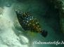 Weissflecken-Feilenfisch (Cantherhines macrocerus)