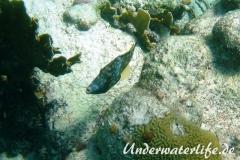 Weissflecken Feilenfisch_adult-Karibik-2014-02