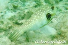 Weissfleck-Kugelfisch_adult-Malediven-2013-03