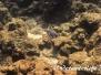 Indischer Weißkehldoktorfisch (Acanthurus leucosternon) Indopazifik